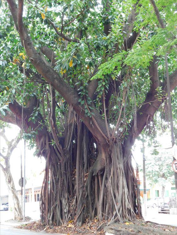 Banyan Tree In Buenos Aires Tree Banyan Tree Nature