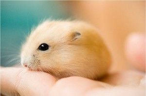 Baby hamster.