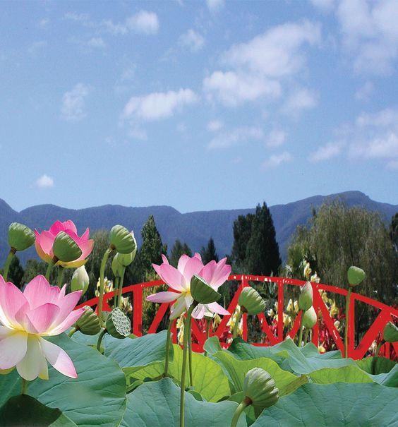 blue lotus water garden website