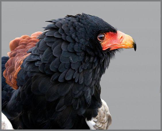 Bateleur eagle study by hawkgenes, via Flickr