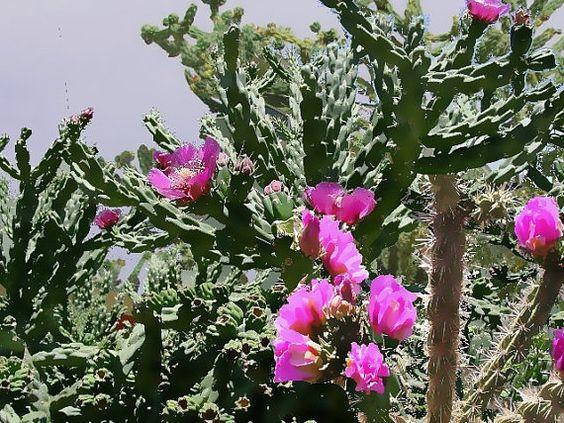 PURPLE TEXAS CHOLLA tree cactus Opuntia imbricata   1 by deleas, $11.00