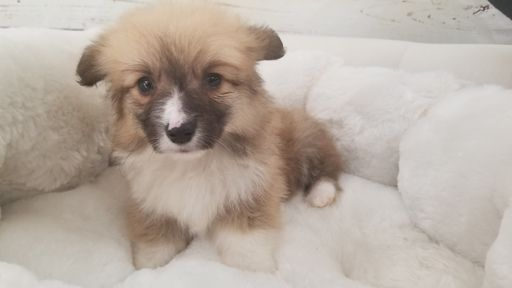 Cardigan Welsh Corgi Puppy For Sale In La Mirada Ca Adn 68327 On Puppyfinder Com Gender Male Age 9 Week Corgi Puppies For Sale Cardigan Welsh Corgi Puppies