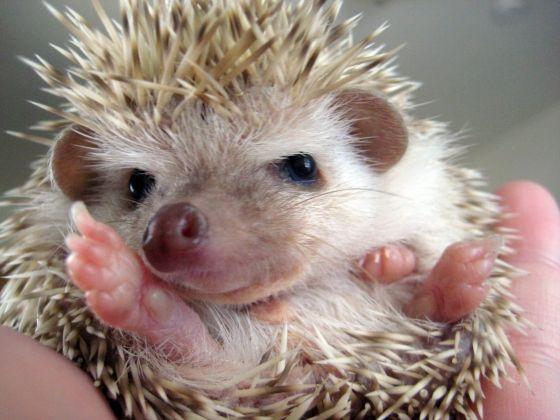 hedgehog: