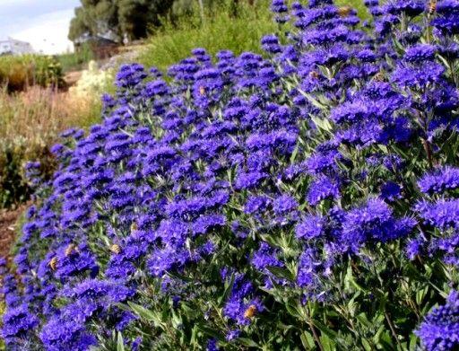 Niebieska Barbula Miododajna Kwitnie Do Pazdzierni 6660507987 Oficjalne Archiwum Allegro Garden Plants