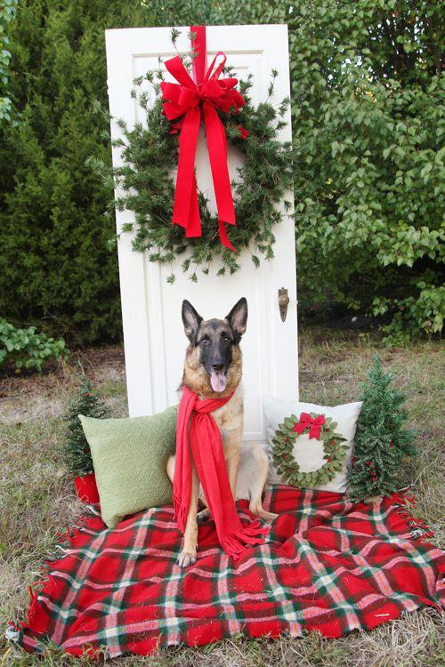 Christmas German shepherd: