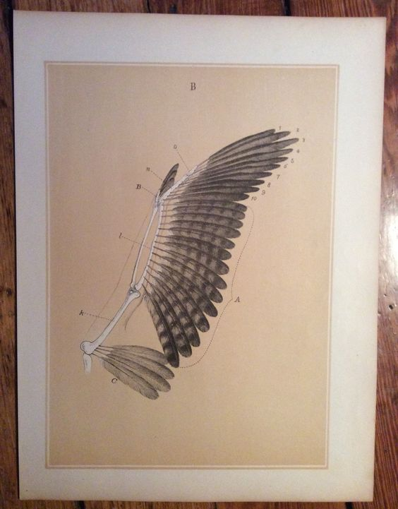 1900 bird anatomy print original antique ornithology lithograph - wing skeleton feathers by antiqueprintstore on Etsy