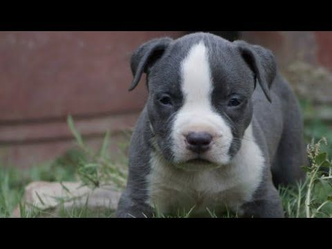 July 2016 American Bully Pocket Size Puppies For Sale In India