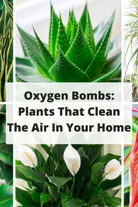 These plants are oxygen bombs they clean the air in your for Oxygen plant