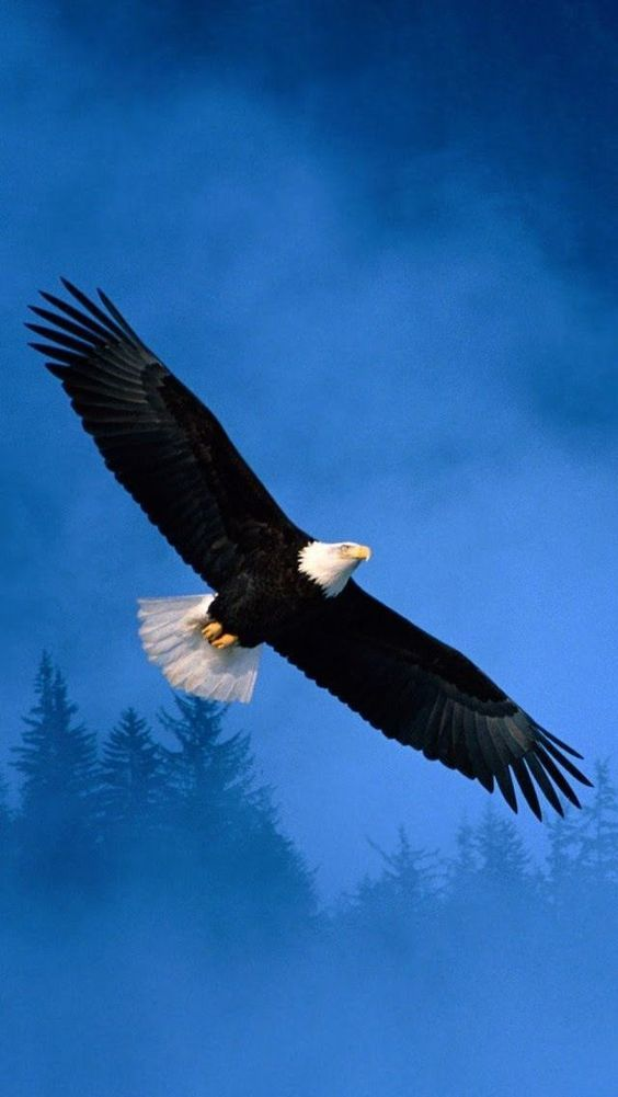 A Bald Eagle In Flight Has A Huge Wingspread Click On Pic To See A Full Screen Pic In A Better Looking Black Ba Bald Eagle Eagle Wallpaper Eagle In Flight