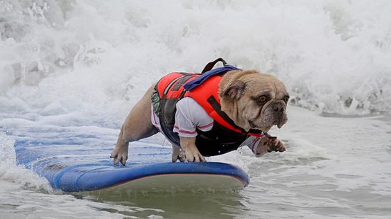 Dog Surfing Competition by travelchannel