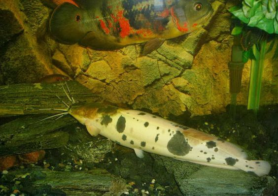Philippine (Walking) Catfish - Clarias batrachus - This long-bodied catfish of the family Clariidae is rather unusual and not only in appearance (image is of the bred piebald variety, normally dark grey with lateral white spots). Its gills have modified filaments preventing their collapse when exposed to air as it uses its pectoral fins to crawl overland. It has been introduced outside its range in Southeast Asia and is considered an invasive species