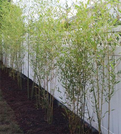 NJ Bamboo Starter Privacy Hedge Nuda Spring