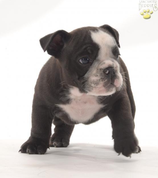 Adorable English Bulldog Puppiesofpinterest Pinterestpuppies