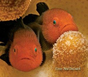 Redhead Coral Gobies
