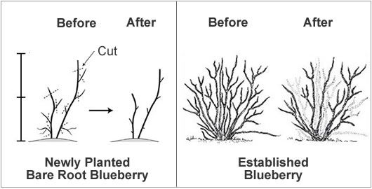 How To Prune A Blueberry Bush From The Experts At Wilson Bros Gardens Blueberry Bushes Pruning Blueberry Bushes Blueberry Gardening
