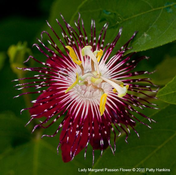 Lady Margaret Passion Flower