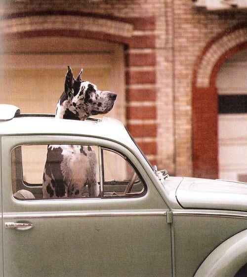 Great dane in a little car