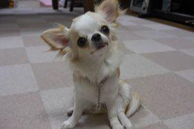 大阪市福島区のワンちゃん チワワのマハロちゃんです