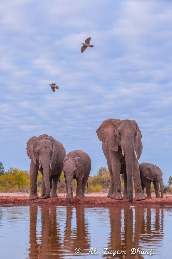 Morning Drink - Taken at the elephant hide at Mashatu Game Reserve in Botswana.