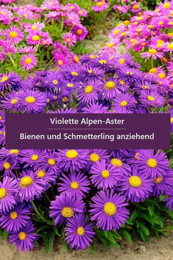 Violette Alpen-Aster Blühfreudig, Bienen und Schmetterling anziehen, Blumensamen winterhart mehrjährig in Steingärten... *Pin enthält Werbelink