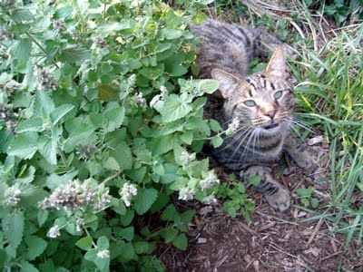 This image links to an article on how to grow catnip before your cat can tear it out or roll the plants to death