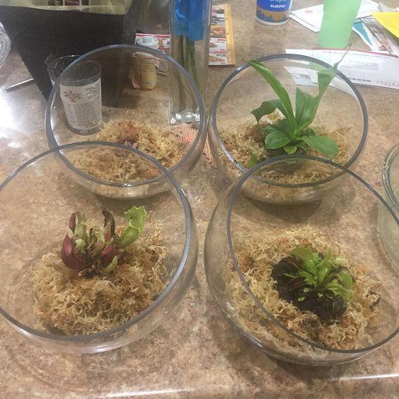 Trying my luck with some #carnivorousplants #venusflytrap by beckyramirez13