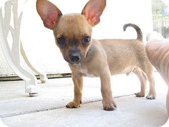 Adopt a Pet :: Photo 1: Badger - Elk Grove, CA -  Rat Terrier/Chihuahua Mix