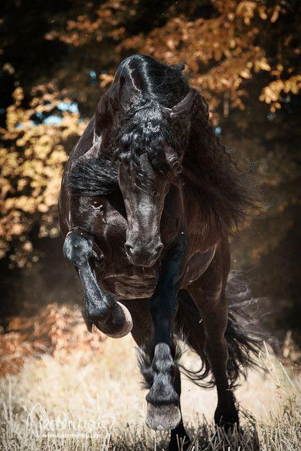 Nena, Friesian mare. Fotografie Bettina Niedermayr