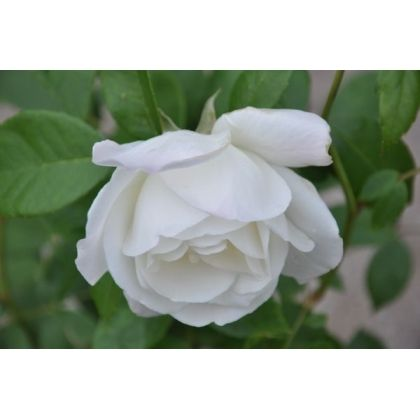 Rosier polyantha blanc - Snow princess