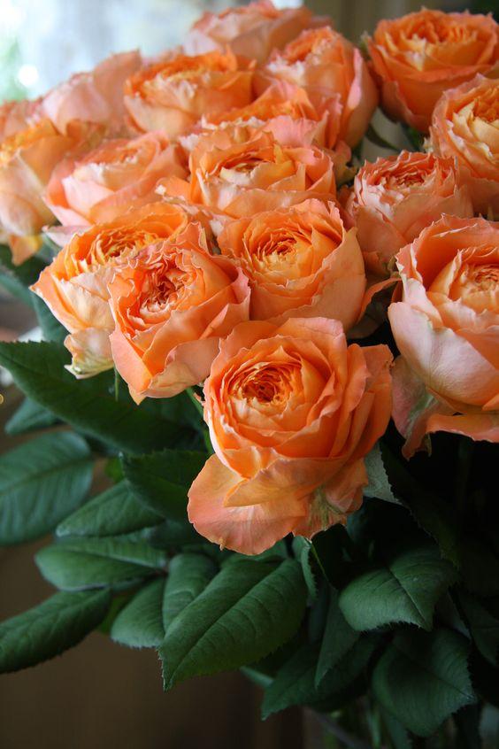 "Orange Garden Rose: ""ROMANTICA"" Roses From MEILLAND"