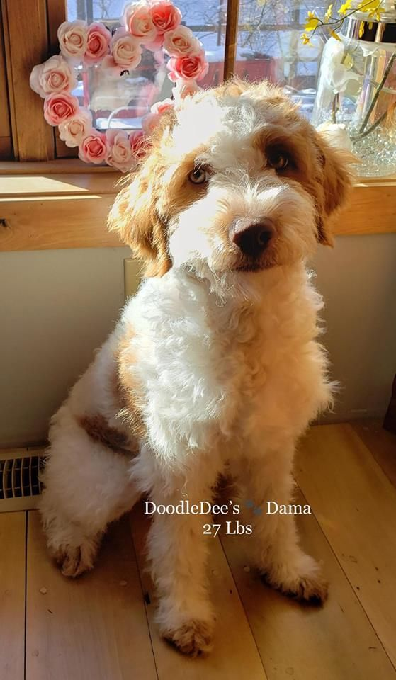 Dama Is A Pup From Harlow Dunkel She Will Make Amazing Babies