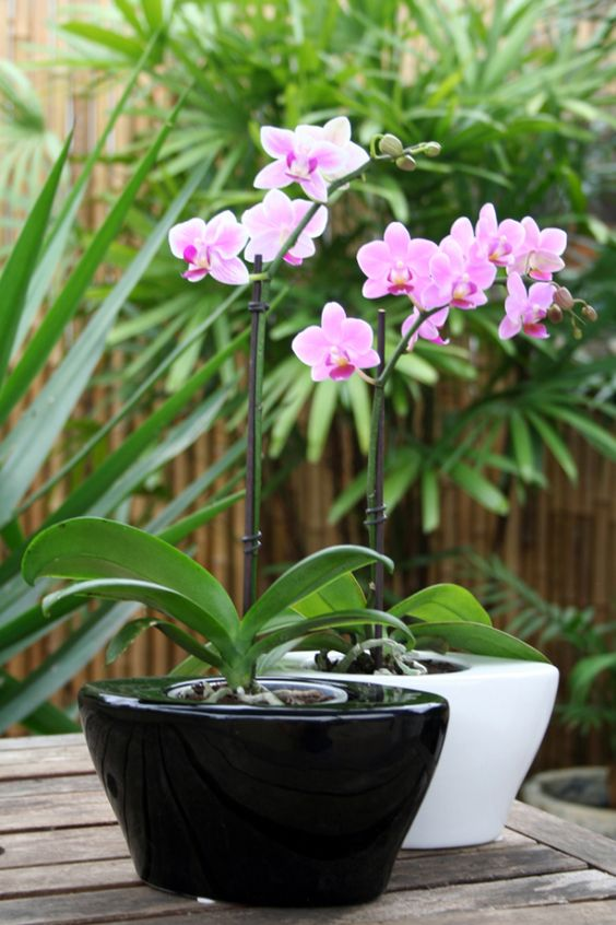 Phalaenopsis orchid orchids and tops on pinterest - How to care for potted orchids ...