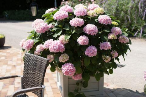 Hortensien Pflanzen Pflegen Vermehren Hortensien Pflanzen Und Hortensien Garten
