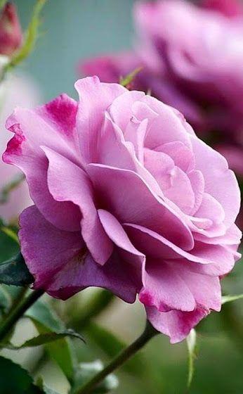roses - Comunidade - Google
