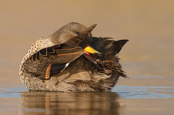PATO JERGON CHICO (Anas flavirostris flavirostris). Chilean Teal. | Flickr - Photo Sharing!