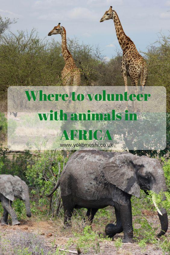 Volunteering with animals in Africa!  Featuring the best charities in Africa to volunteer with animals. Visit www.yokomeshi.co.uk to see similar posts from around the world.  www.yokomeshi.co.uk