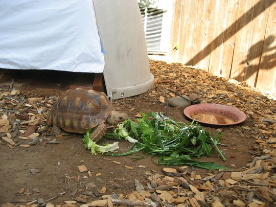 """""""Reuse why not""""... converted a Dogloo into our sulcate tortoise's cozy home.  We installed heat lamps so we can regulate her climate.  She is now a small boulder and weighs in at 45 lbs. and still fits with room in her """"Tortogloo"""""""
