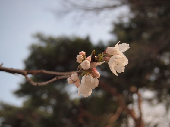 0324 前橋 染井吉野