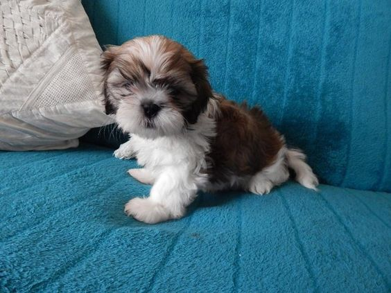 Beautiful Shih Tzu Puppys Puppies Blackpool 1boy 1girl For Sale In Blackpool Lancashire Preloved Puppies Dogs And Puppies Stylish Pooch