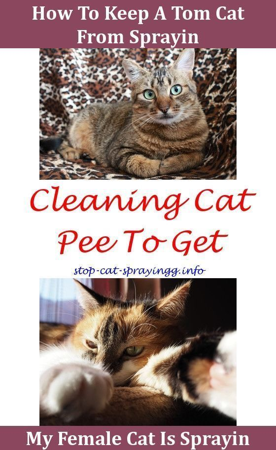 Cat Peeing Humor Sprayed Cat With Diluted Orange Oil What Can You Spray On Furniture To Stop Cats Scratching Cat Outh Oral Cat Spray Male Cat Spraying Cat Pee