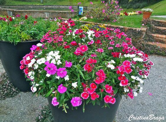 Herbácea perene, pertence à família Caryophyllaceae, nativa da Ásia e Europa, de 30 a 40 cm de altura, com folhas linear-lanceoladas, cerosas e totalmente sem pelos. Inflorescências solitárias, com flores vermelhas, róseas, arroxeadas, brancas ou com mais de uma cor. Distingui-se da cravina de buque, pelas inflorescências terminais ramificadas, com numerosas flores pequenas. E cultivada ...