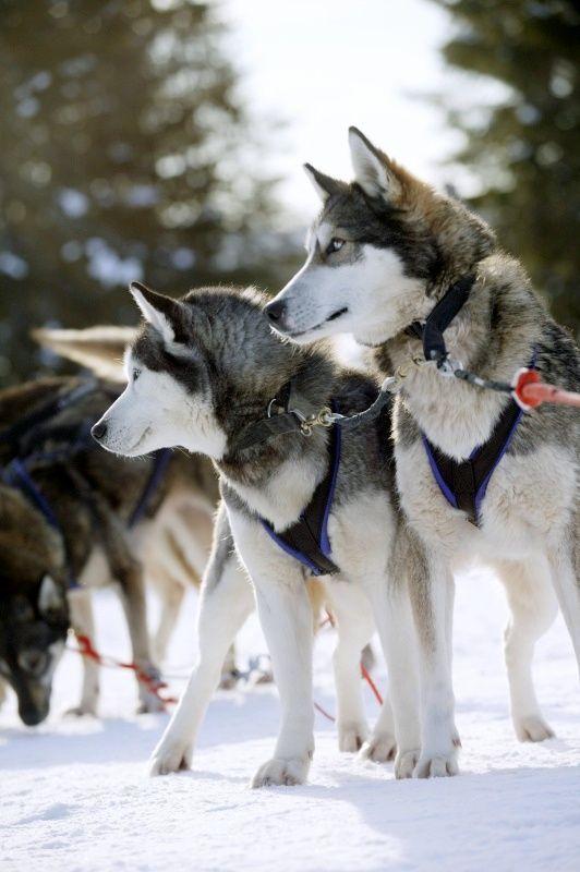 Husky Sled Dogs In Kuusamo Finnish Lapland Siberianhusky