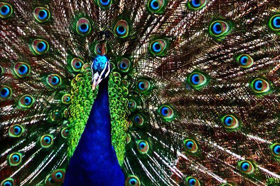 Yala National Park Sri Lankan Wild Peacocks displaying