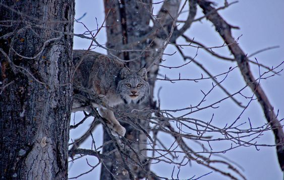 Haunting Glimpse. An encounter with an elusive Canada Lynx is said to be a rare privilege. (Photo and caption by Janet Chester)