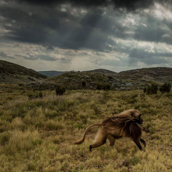 Photo by @tbfrost  This is one of the last photos I took on my first assignment for Nat Geo magazine. It was one of the only times it wasn't raining during my last week in the field so I felt quite lucky when the sun broke through the clouds and added some much needed drama to the picture. In this picture a male gelada is running to catch up to his group. Shot in central highlands of Ethiopia! By @tbfrost by natgeo