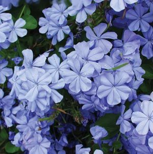 Plumbago Perennial That Does Best With Morning Sun And