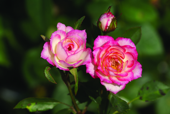 Magic Carousel Ludwigs Roses White With Pink On The