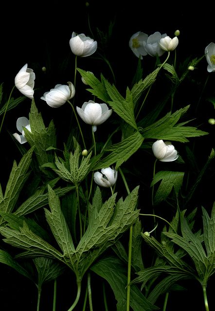 Anemone canadensis: