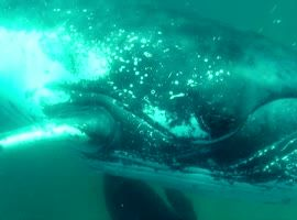 Whale Smashes Divers Camera - Video