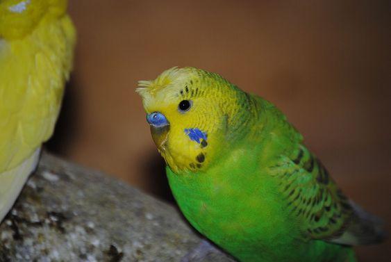 perruche-ondulee-oiseaux